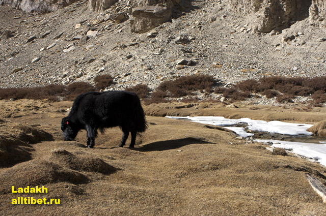 a yak – the assistant to Tibetans